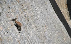goat dam